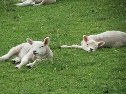 young cute lambs are resting on the grass
