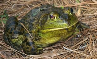 A green frog is sitting on the dry grass