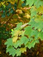 light green leaves of mountain maple