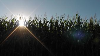 corn field under the bright sun