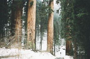 Giant sequoia in the woods of California