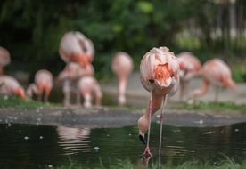 pink flamingos in the water