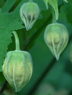 green seeds of the abutilon