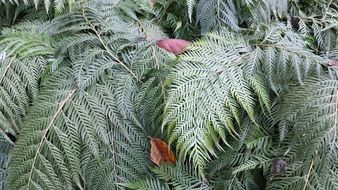 Foliage of a fern