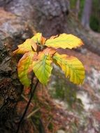 small yellow beech leaves