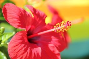 Side view on a red hibiscus flower