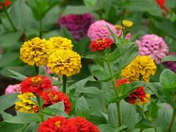 colorful zinnia flowers in garden