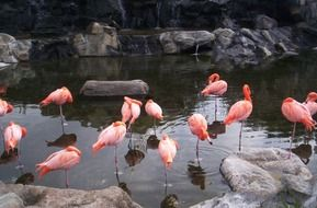 gorgeous flamingo birds on water scene