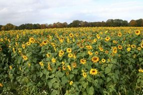 large field of sunflowers