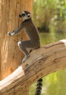 ring tailed lemur on a bare branch