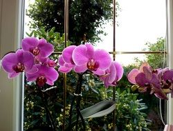 purple orchids by the window