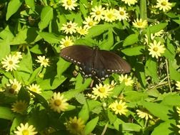 big black butterfly on spring flowers