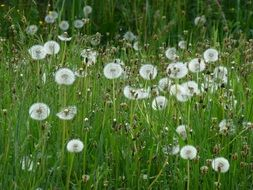 white dandelion seedheads at grass
