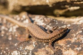 brown lizard reptile