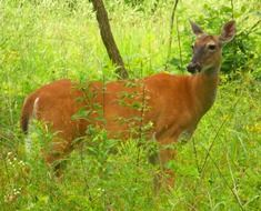 brown deer among greenery in the forest