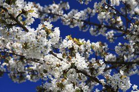 white cherry tree flowers in bloom
