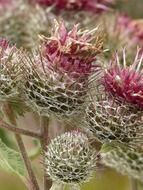 Burdock flowers close-up