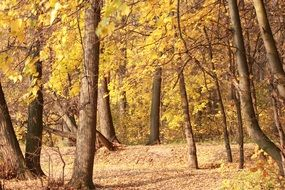 golden autumn forest in sunny day