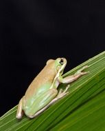 green tree frog on a palm leaf close-up