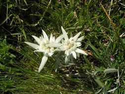 two edelweiss flowers in grass