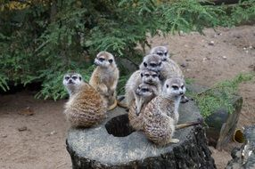 cute meerkats in the zoo