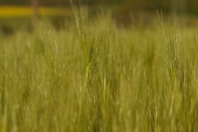 macro photo of barley field