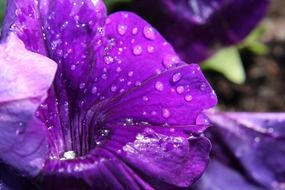 purple petunia in water drops