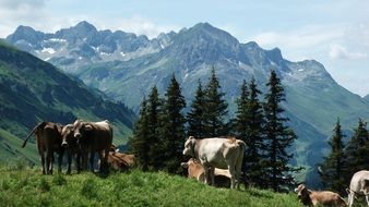 dairy cows on a mountain meadow