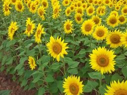 field of weed-free sunflowers