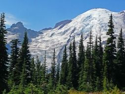 spruce forest at snowy mount rainier, usa, washington