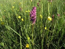 purple wild orchid on meadow, germany, island of usedom