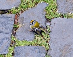 warbler on a stone walkway