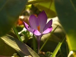 lone purple crocus among large green leaves