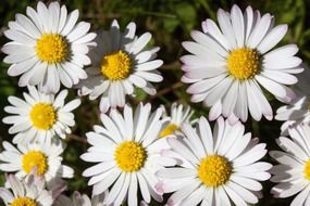 bush of white daisies close up
