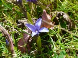 gentian among green grass and dry leaves