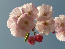 cherry blossom on a background of light blue sky