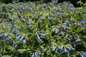 blooming blue comfrey