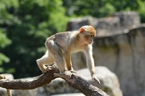 monkey walks on a tree branch