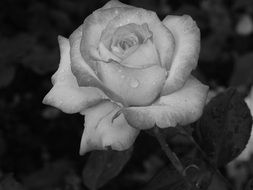 rose plant black and white