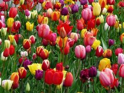 colorful tulips close up