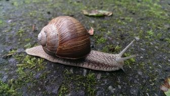 crawling snail with shell