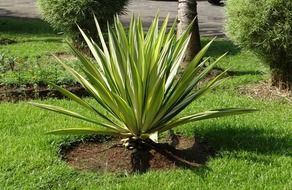 agave in a garden from india