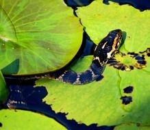 water snake among lilies in a pond