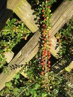 cotoneaster plant with red berries closeup