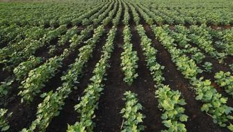cotton seedlings