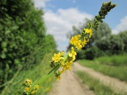 yellow common agrimony on a rural field by the road