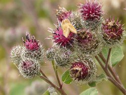 hairy flowers burdock