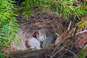 Big eggs in a nest