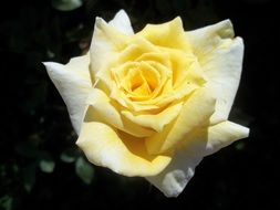 Photo of yellow rose on a dark background