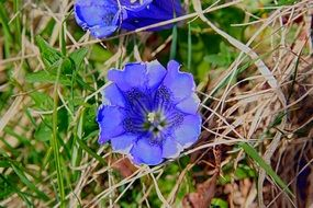 Closeup Picture of gentian blue flowers